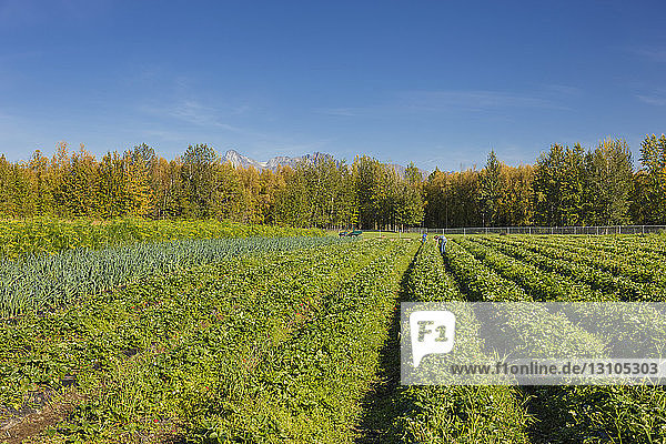 Two women work in a field of strawberry plants on a sunny summer day  South-central Alaska; Palmer  Alaska  United States of America