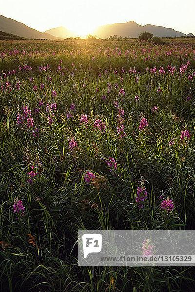 Fireweed Blooms In Open Field @ Kodiak Is Sw Ak Summer Backlit