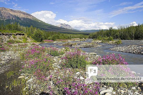 Spring Flowers Along Mccarthy Creek Mccarthy Wrangell-St. Elias National Park Alaska Southcentral Spring