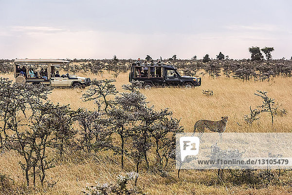 Photographers in trucks shoot cheetah (Acinonyx jubatus) amongst trees  Maasai Mara National Reserve; Kenya