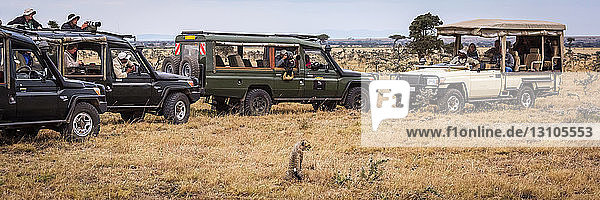 Photographers in four safari trucks shooting cheetah cub (Acinonyx jubatus)  Maasai Mara National Reserve; Kenya