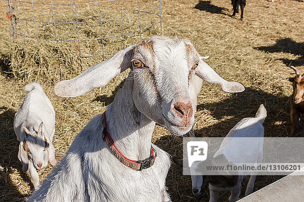 A young goat (Capra aegagrus hircus) looks inquisitively at the photographer; Palmer  Alaska  United States of America
