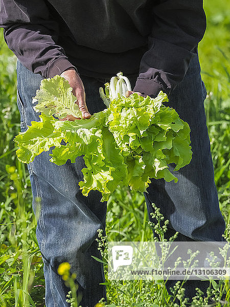 Female farmer harvesting greens  Prince Georges County; Upper Marlboro  Maryland  United States of America