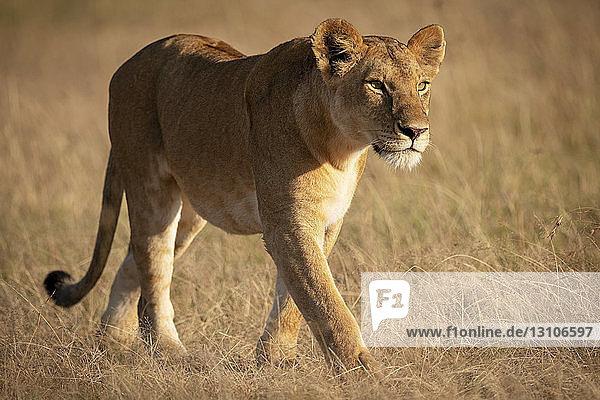 Lioness (Panthera leo) walks in grassland in golden sunlight  Maasai Mara National Reserve; Kenya