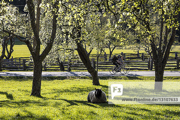 Two cyclists ride pass an apple orchard on the farm in Ruckle Provincial Park; Salt Spring Island  British Columbia  Canada