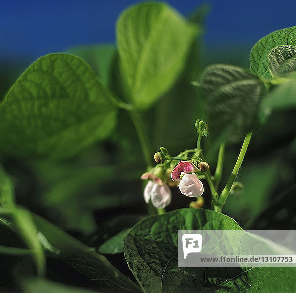 Agriculture - Closeup of Cranberry dry bean blossoms / Ontario  Canada.