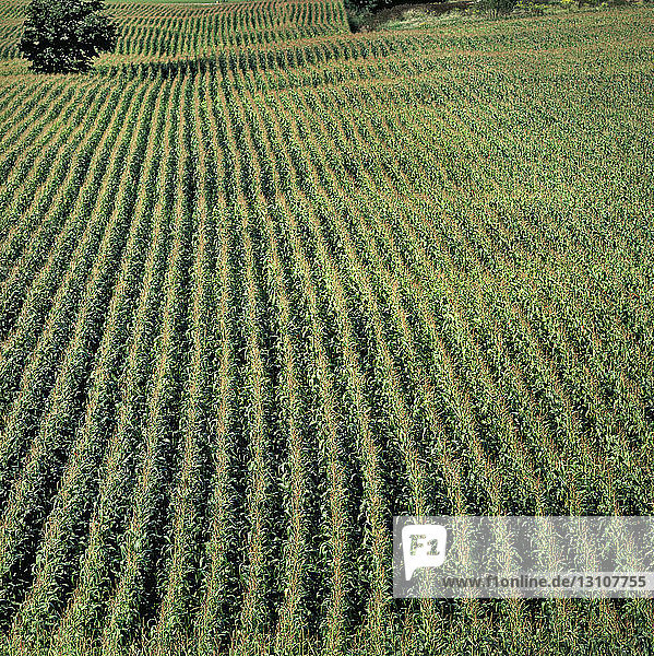Agriculture - High angle view of a rolling field of mid growth fully tasseled grain corn plants / Ontario  Canada.