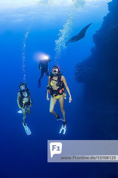 A group of divers and a manta ray (Manta alfredi) on one of the corners of the Backwall at Molokini Marine Preserve; Maui  Hawaii  United States of America