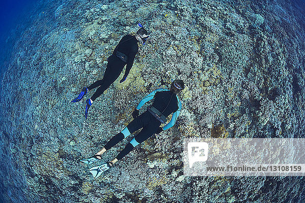 Two men free diving over a Hawaiian hard coral reef; Hawaii  United States of America