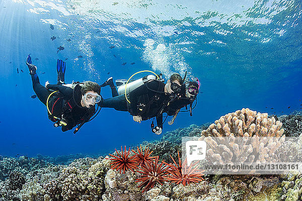Scuba divers over a coral reef with sea urchins  Molokini; Hawaii  United States of America