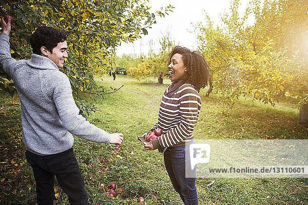 Mann schenkt lächelnder Freundin Apfel im Obstgarten
