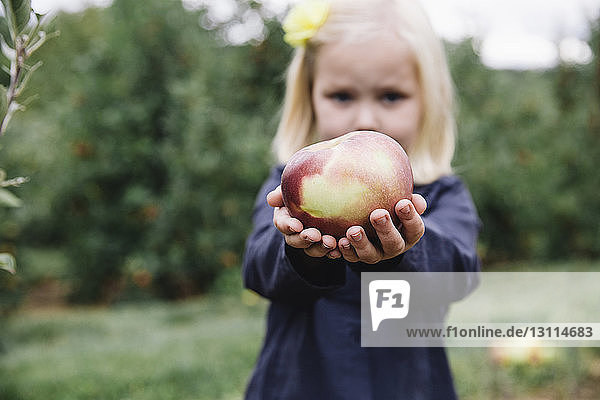 Portrait of girl holding apple while standing at orchard