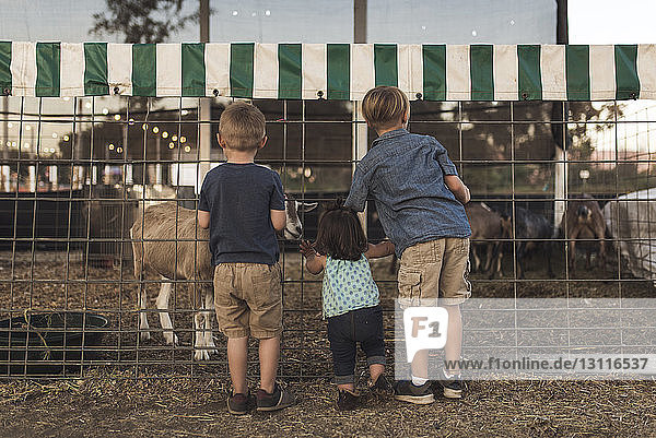 Rückansicht der Geschwister  die die Ziege im Stall auf dem Bauernhof betrachten