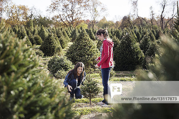 Sisters planting pine trees in farm
