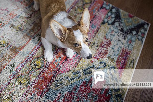 Hochwinkelansicht eines Hundes  der weg schaut  während er zu Hause auf dem Teppich sitzt Hochwinkelansicht eines Hundes, der weg schaut, während er zu Hause auf dem Teppich sitzt