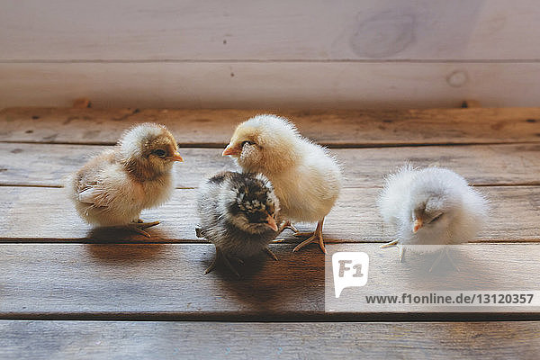 High angle view of baby chickens standing on wooden table