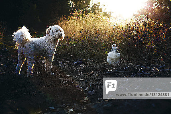 Poodle with chicken standing on field