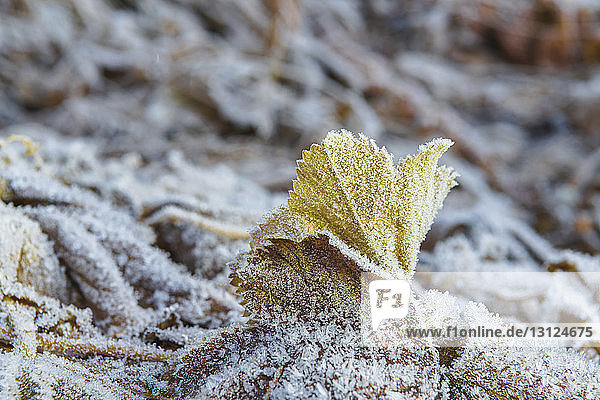 Close-up of frozen leaves on field