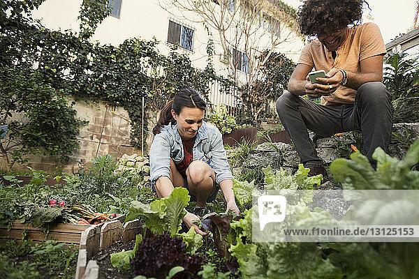 Lächelnde Frau pflanzt  während Freunde ein Smartphone im Gemüsegarten benutzen