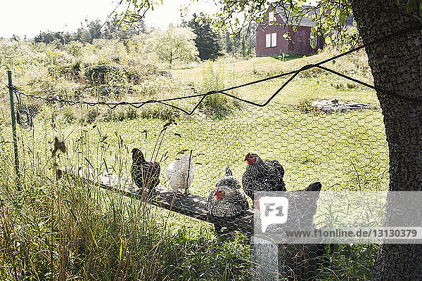 Hens relaxing on bench seen through fence at farm