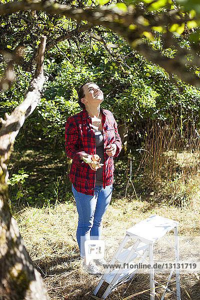 Frau hält Äpfel  während sie auf dem Feld im Obstgarten steht