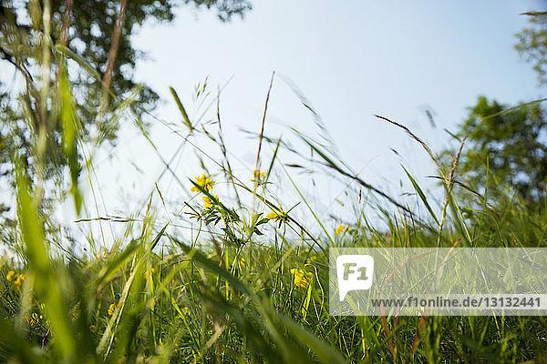 Gelbe Blumen wachsen auf Grasfeld vor klarem Himmel