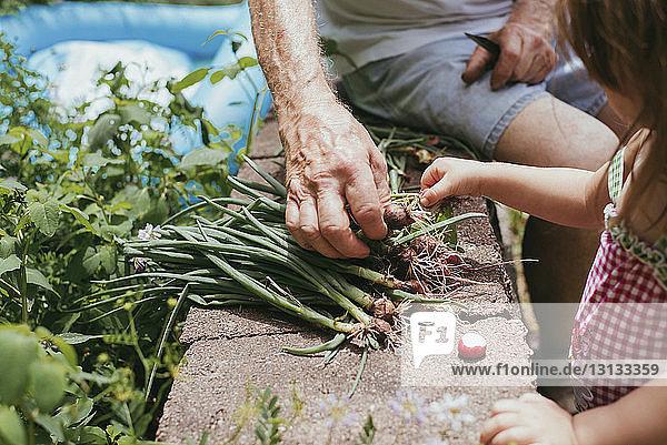 Ausgeschnittenes Bild einer Enkelin  die dem Großvater beim Pflücken von Frühlingszwiebeln von der Stützmauer hilft