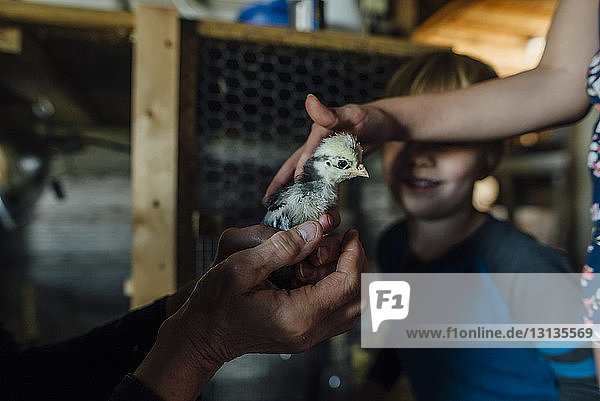 Cropped hands of grandmother showing baby chicken to grandchildren in barn