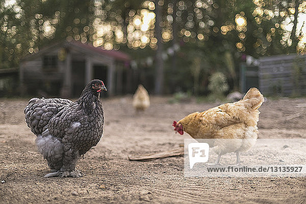 Hens perching on field against house
