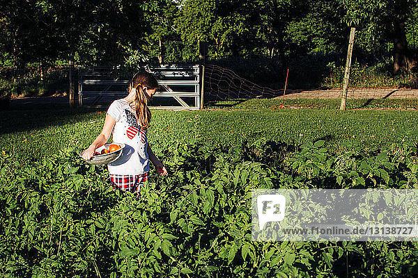 Mädchen hält Tomaten im Sieb  während sie im Gemüsegarten inmitten von Pflanzen steht