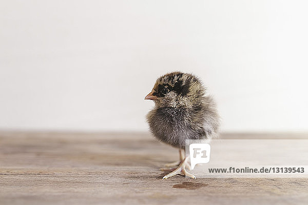 Close-up of baby chicken on wooden table against wall