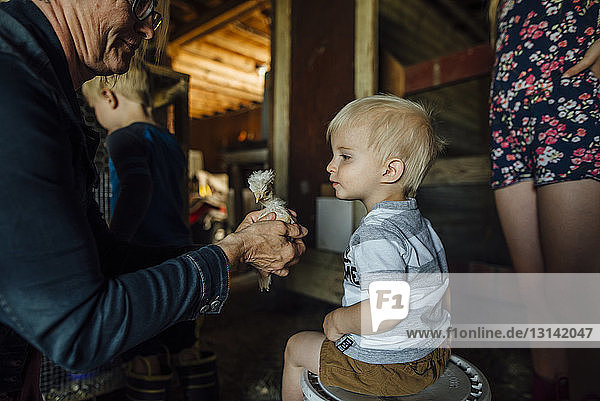 Grandmother showing baby chicken to grandchildren in barn