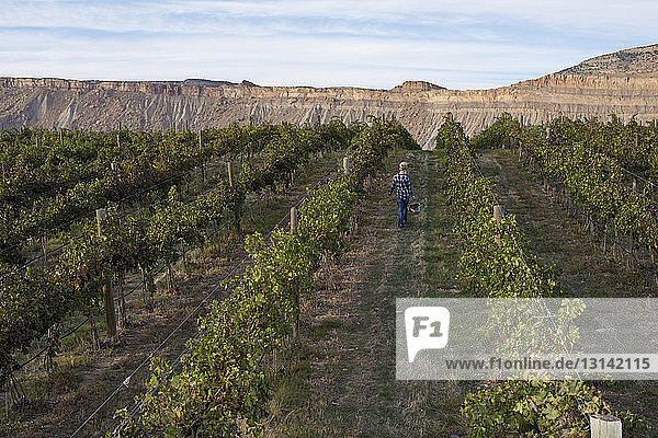 Rückansicht eines Landwirts  der beim Spaziergang im Weinberg einen Eimer mit Trauben trägt