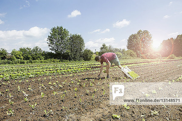 Farmer planting seedlings in organic farm