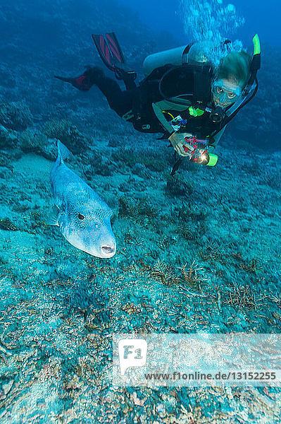 Diver admiring pufferfish underwater