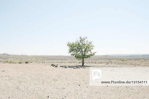 Lone tree in desert landscape