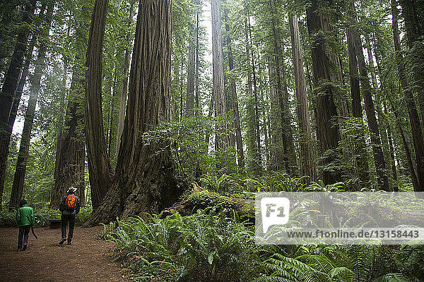 Father and son in Redwoods National Park  California  USA