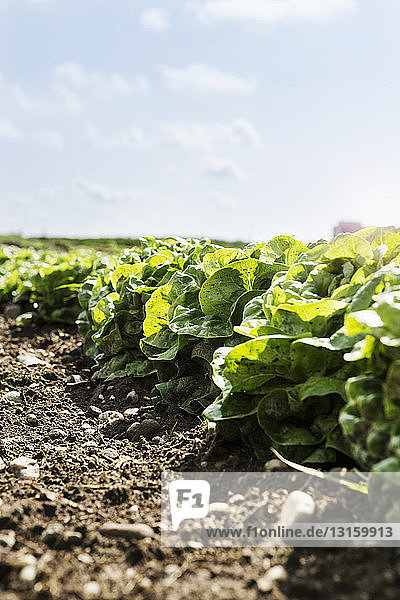 Lettuce ready for harvesting in organic farm