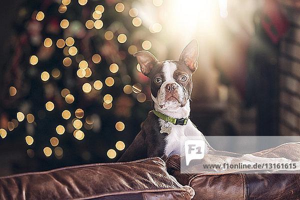 Porträt eines Boston Terriers auf dem Sofa vor dem Weihnachtsbaum