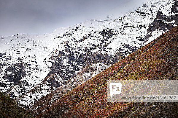 Distant view of dall sheep grazing on steep mountain  Wrangell St. Elias  Alaska  USA