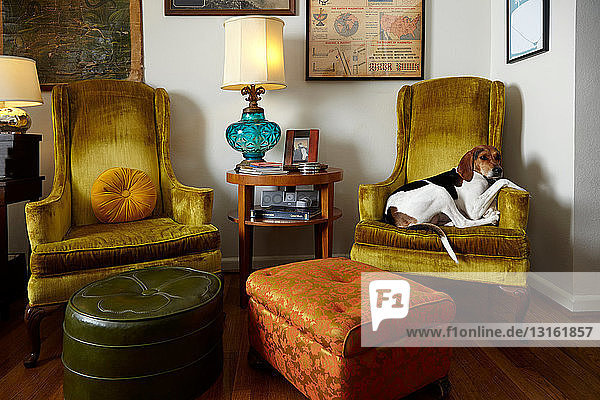 Pet dog relaxing in armchair in living room