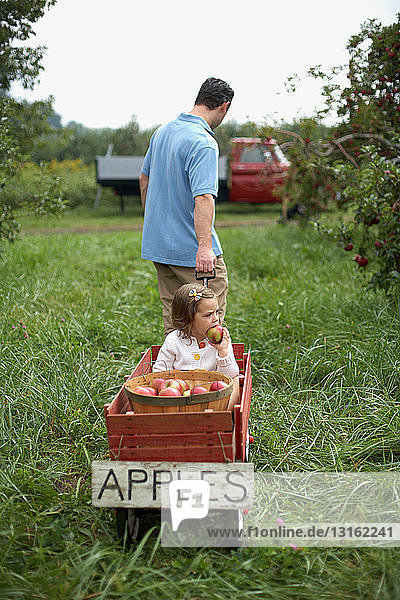 Father pulling wooden cart with daughter and apples