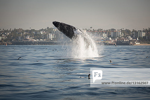 Side view of humpback whale breaching  West Coast  Pacific Ocean