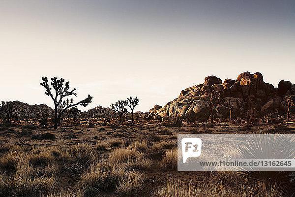 Rock formation and joshua trees at dusk  Joshua Tree National Park  California  USA