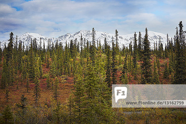 Autumn forest in front of snow capped mountains  Wrangell St. Elias  Alaska  USA