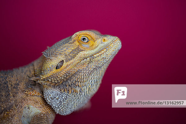 Side view of yellow colour reptile against red colour background