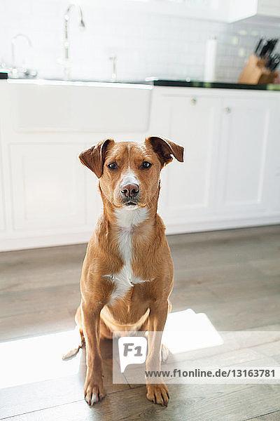 Vorderansicht eines braungebrannten Hundes  der in der Küche sitzt und in die Kamera schaut Vorderansicht eines braungebrannten Hundes, der in der Küche sitzt und in die Kamera schaut