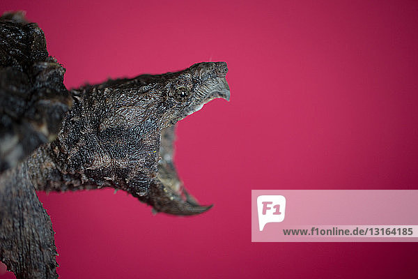 Side view of alligator snapping turtle open mouthed against red background