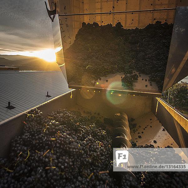 Kunststoffbehälter mit Pinot noir-Trauben  die zum Entrappen in die Maschine gekippt werden  Weingut entlang der Naramata Bench  Naramata  British Columbia  Kanada
