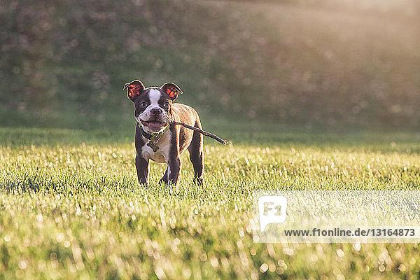 Boston-Terrier-Welpe mit Stock im Maul auf Gras schaut lächelnd in die Kamera